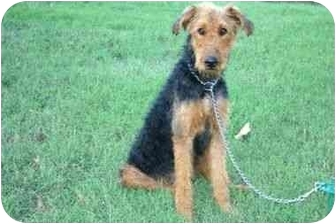 Airedale Terrier Dog for adoption in Muldrow, Oklahoma - MARLO