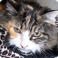 Domestic Longhair Cat for adoption in Quilcene, Washington - Daisy