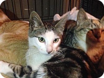 Domestic Shorthair Kitten for adoption in East Brunswick, New Jersey - Lincoln