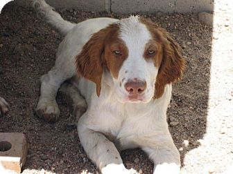 Brittany/German Shorthaired Pointer Mix Dog for adoption in Manhattan, Kansas - Jason