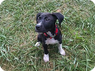 Labrador Retriever/Pit Bull Terrier Mix Puppy for adoption in Gallatin, Tennessee - Jenny