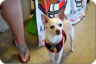 Chihuahua Mix Dog for adoption in Tavares, Florida - Dina