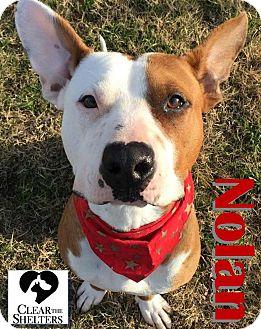 Pit Bull Terrier Mix Dog for adoption in Watauga, Texas - Nolan