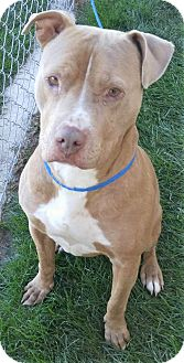 Pit Bull Terrier Mix Dog for adoption in Fruit Heights, Utah - Chevelle