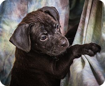 Labrador Retriever/Boxer Mix Puppy for adoption in Anna, Illinois - HOPE