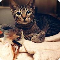 Domestic Shorthair Kitten for adoption in Cantonment, Florida - R.J.