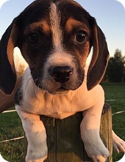Coonhound (Unknown Type)/Pug Mix Puppy for adoption in PLAINFIELD, Indiana - Wee Willie