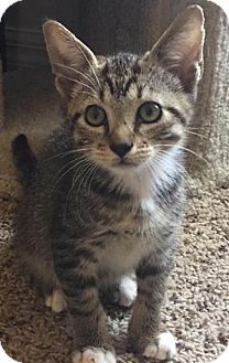 Domestic Shorthair Kitten for adoption in Gainesville, Florida - Ringo