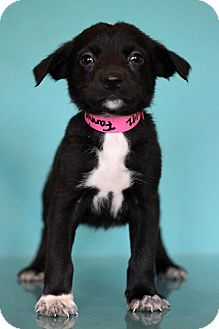 Pointer Mix Puppy for adoption in Waldorf, Maryland - Fannie