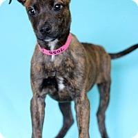 Adopt A Pet :: Calista - Waldorf, MD