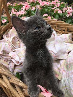 Domestic Shorthair Kitten for adoption in Jackson, Mississippi - Elisabeth Van Gogh