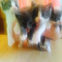 Adopt A Pet :: Rachel - Harrisonburg, VA