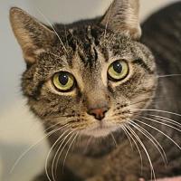Adopt A Pet :: Gizmo - Marlborough, MA