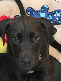 Retriever (Unknown Type) Mix Dog for adoption in West Allis, Wisconsin - Baskin