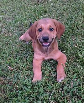 Hound (Unknown Type)/Labrador Retriever Mix Puppy for adoption in Ashburn, Virginia - Filip