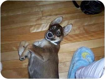 Husky Puppy for adoption in Montreal, Quebec - Inouk