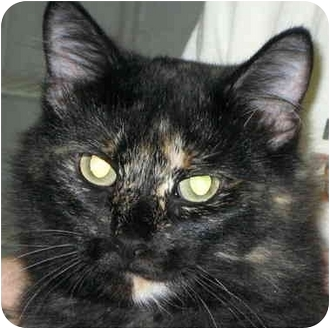 Domestic Shorthair Cat for adoption in Alden, Iowa - Freckles