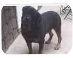 Rottweiler Dog for adoption in Bloomsburg, Pennsylvania - Samson