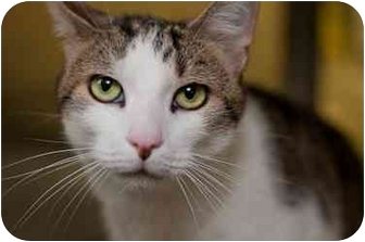 Domestic Shorthair Cat for adoption in Westbrook, Maine - Rocky