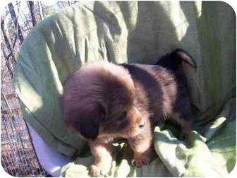 Husky Mix Puppy for adoption in Harrisonburg, Virginia - Bam Bam
