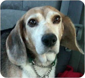 Beagle Dog for adoption in Palatine, Illinois - PAX
