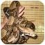 Photo 4 - Snake for adoption in Durham, North Carolina - Jumbo