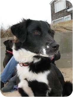 Border Collie/Golden Retriever Mix Dog for adoption in Williston, Vermont - Cheyenne