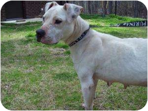 American Pit Bull Terrier Mix Dog for adoption in Louisburg, North Carolina - Katie