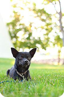 Chihuahua Mix Dog for adoption in Seattle, Washington - Abie