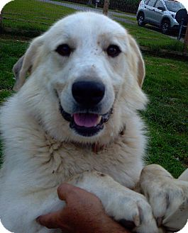 Great Pyrenees Mix Dog for adoption in Bloomington, Illinois - Bentley ADOPTED
