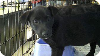 Labrador Retriever/Shepherd (Unknown Type) Mix Puppy for adoption in Philadelphia, Pennsylvania - Jackson