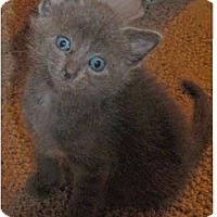 Adopt A Pet :: Nermal - Modesto, CA