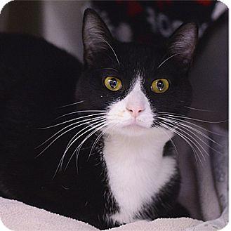 Domestic Shorthair Cat for adoption in Stillwater, Oklahoma - Kent