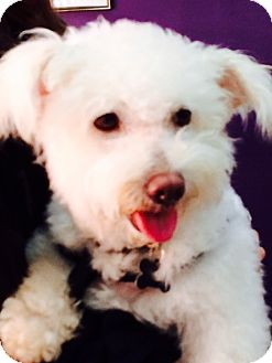 Westie, West Highland White Terrier/Poodle (Miniature) Mix Dog for adoption in Thousand Oaks, California - Echo