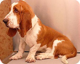 Basset Hound Dog for adoption in Grapevine, Texas - Indiana Bones