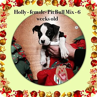 Pit Bull Terrier Mix Puppy for adoption in Philadelphia, Pennsylvania - Holly