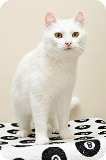 Domestic Shorthair Cat for adoption in Bellingham, Washington - Sprinkle
