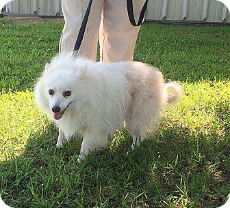 Eskimo Spitz Mix Dog for adoption in Foster, Rhode Island - Fifi