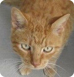 Domestic Shorthair Cat for adoption in Aiken, South Carolina - CRUSH