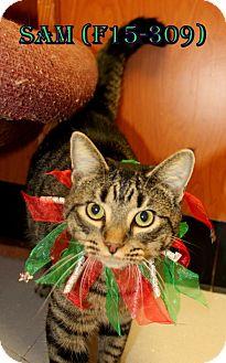 American Shorthair Cat for adoption in Tiffin, Ohio - Sam