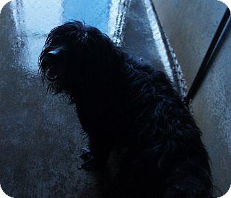 Cocker Spaniel Mix Dog for adoption in Henderson, North Carolina - Shaggy*