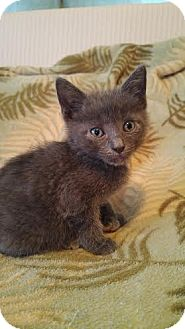 Domestic Shorthair Kitten for adoption in Jacksonville, Florida - Biscuit & Muffin