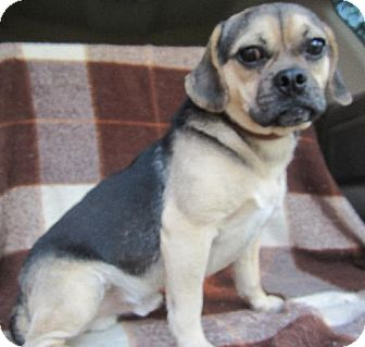 Pug/Beagle Mix Dog for adoption in Waldron, Arkansas - PUGGY