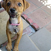 Adopt A Pet :: Pancakes - Los Angeles, CA