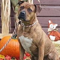 American Pit Bull Terrier Mix Dog for adoption in Ashtabula, Ohio - Dixon