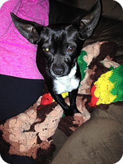 Chihuahua/Toy Fox Terrier Mix Dog for adoption in Speedway, Indiana - The Duke of Earl