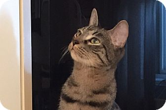 Domestic Shorthair Cat for adoption in New York, New York - LAP Kitties  CIRQUE & SOLEIL