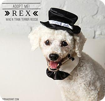 Bichon Frise Dog for adoption in Omaha, Nebraska - Rex-Pending Adoption