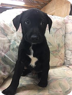 Labrador Retriever/Shepherd (Unknown Type) Mix Puppy for adoption in Southbury, Connecticut - Curtis