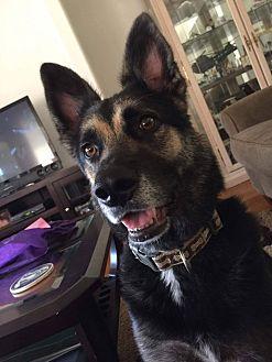 German Shepherd Dog Mix Dog for adoption in Rowlett, Texas - Lycan